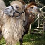 Da Camels on Da Road Trip